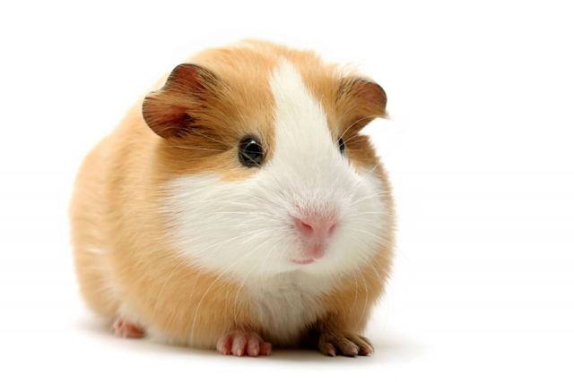 The Guinea Pig's 3 Wishes
