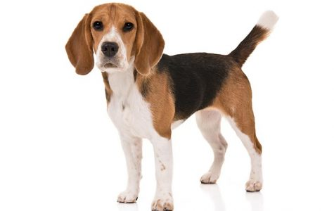 Billy the Beagle