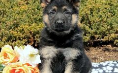 Meet Wyatt, a German shepherd training to be Orange PD's newest K-9 member