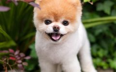 Boo, The Cutest Dog in the World, Dies a Tragic Death